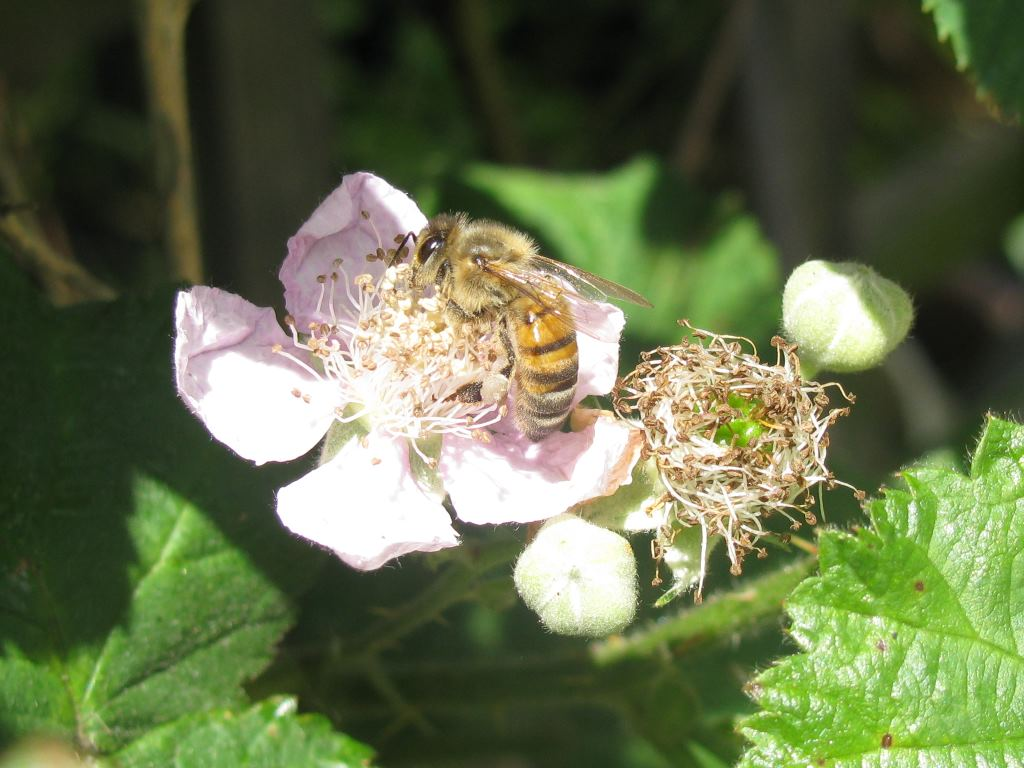 blackberry flower with insect