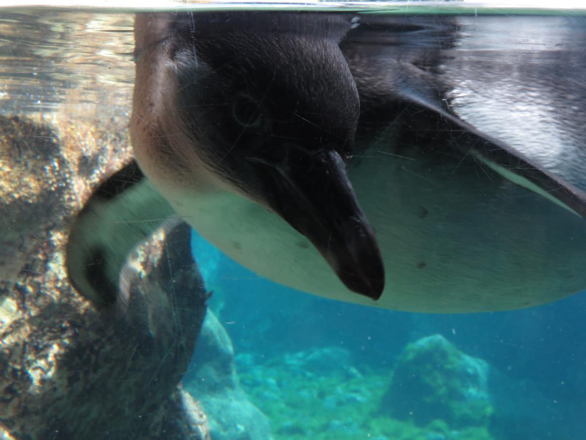 Colchester Zoo penguin